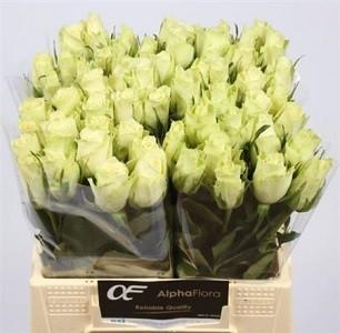 trandafir alb